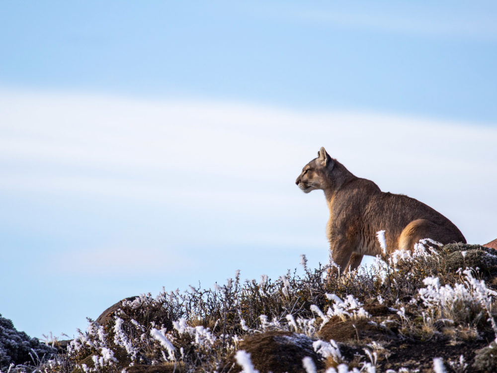 Pumas: Legends of the Ice Mountains 1