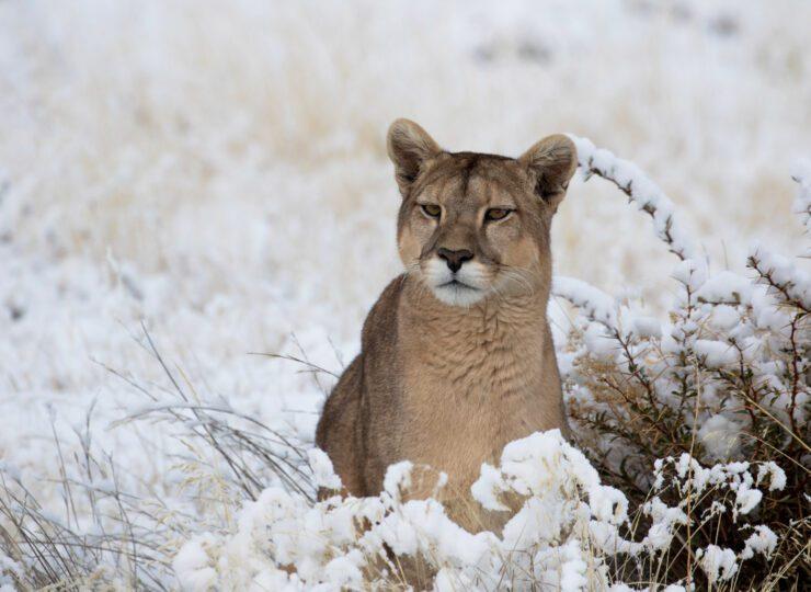Pumas: leyendas de las montañas de hielo Episodio 1