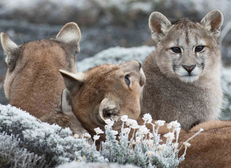 Pumas: Legends of the Ice Mountains