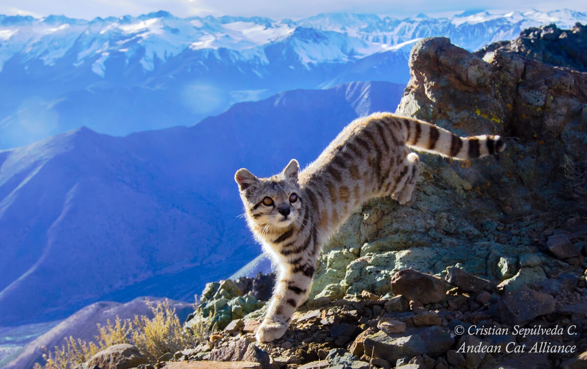 Seeking the Andean Cat