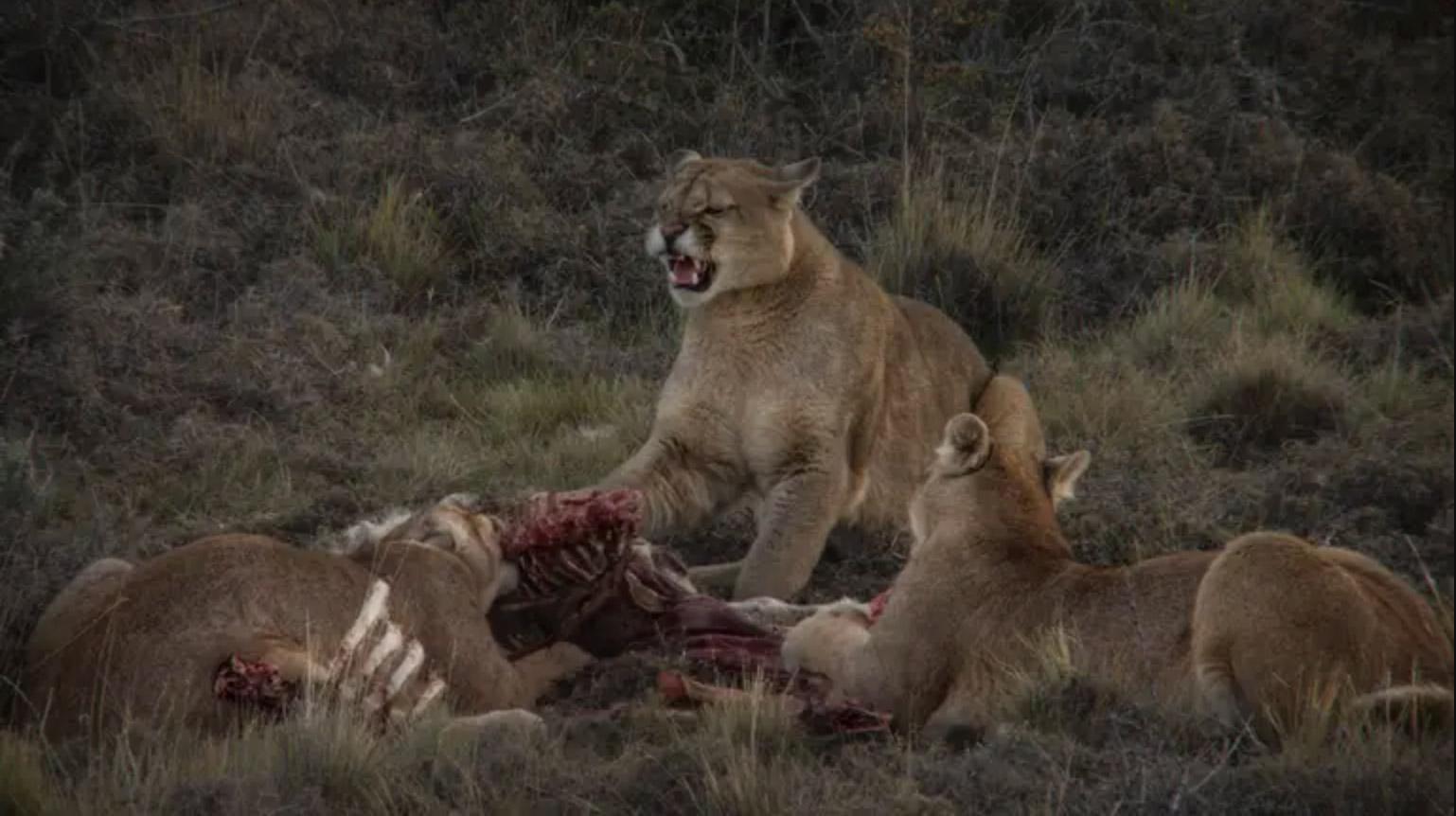 Festival Santiago Wild: el documental que muestra el inesperado comportamiento de los pumas de Torres del Paine llega gratis por ondamedia