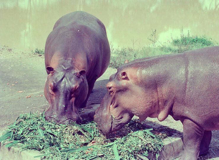 A la caza de los hipopótamos de Escobar