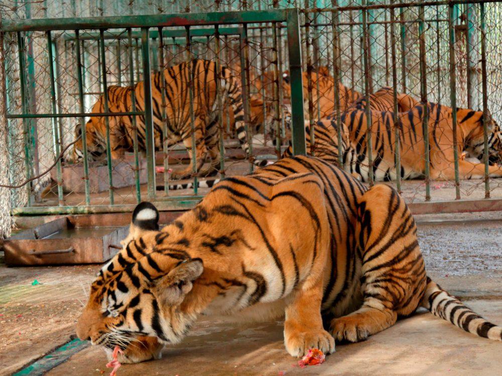 Tiger Mafia